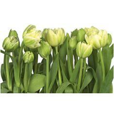 Фотошпалери Komar Білі тюльпани 8-900