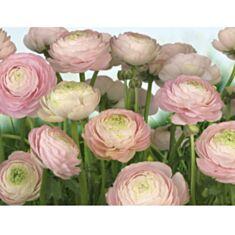 Фотошпалери Komar Ніжні троянди 8-894